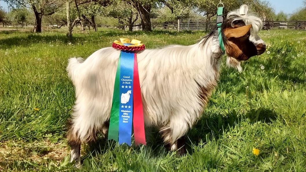 LOL Miniature Silky Fainting Goats